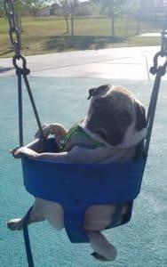 pug in a swing